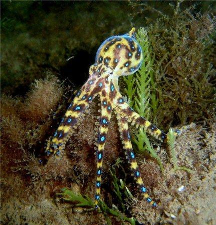 Ядовитый синий кольцевидный осьминог