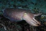 Post Thumbnail of О гигантской австралийской каракатице