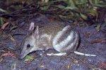 Post Thumbnail of Бандикуты – сумчатые млекопитающие