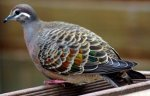 Post Thumbnail of Австралийские пернатые. Бронзовокрылый  голубь