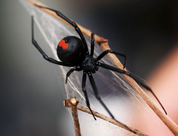 Post Thumbnail of Latrodectus mactans hasseltii