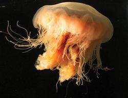 Post Thumbnail of Cyanea capillata