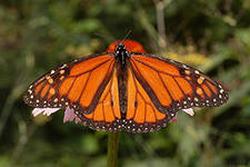 Post Thumbnail of Данаида монарх