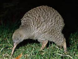 Post Thumbnail of Малый серый киви