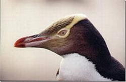 Post Thumbnail of Великолепный пингвин