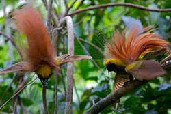Еще немного о райских птицах