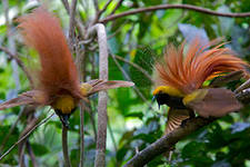 Post Thumbnail of Еще немного о райских птицах
